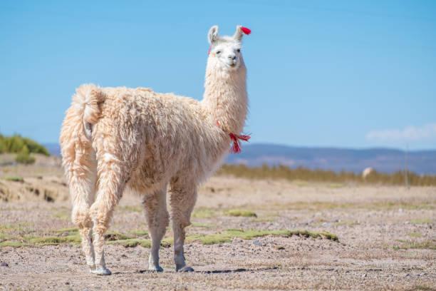 verzierte weiße lama - lama kamelartige stock-fotos und bilder