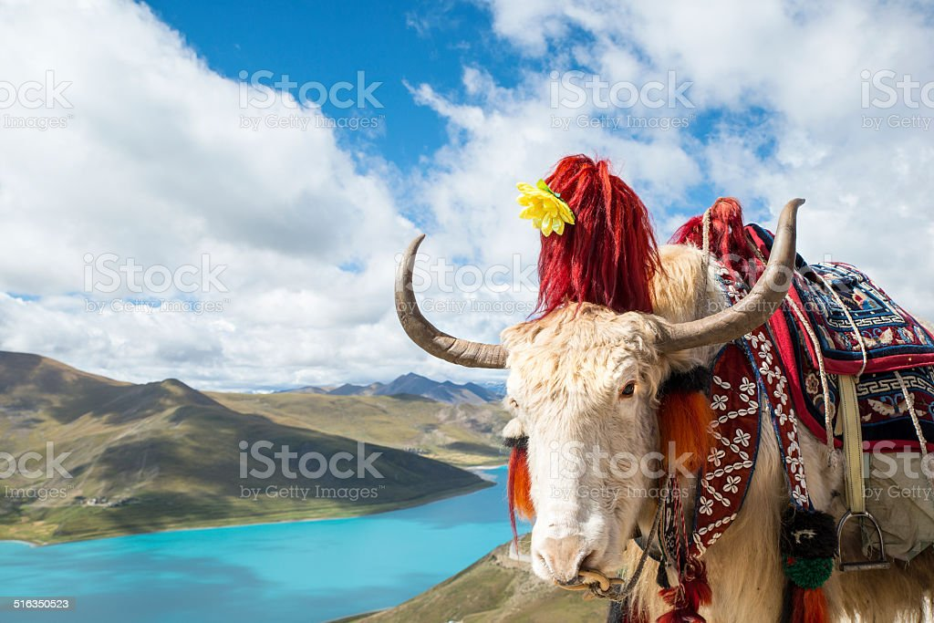 Decorated Yak in front of Yamdrok Lake, Tibet stock photo