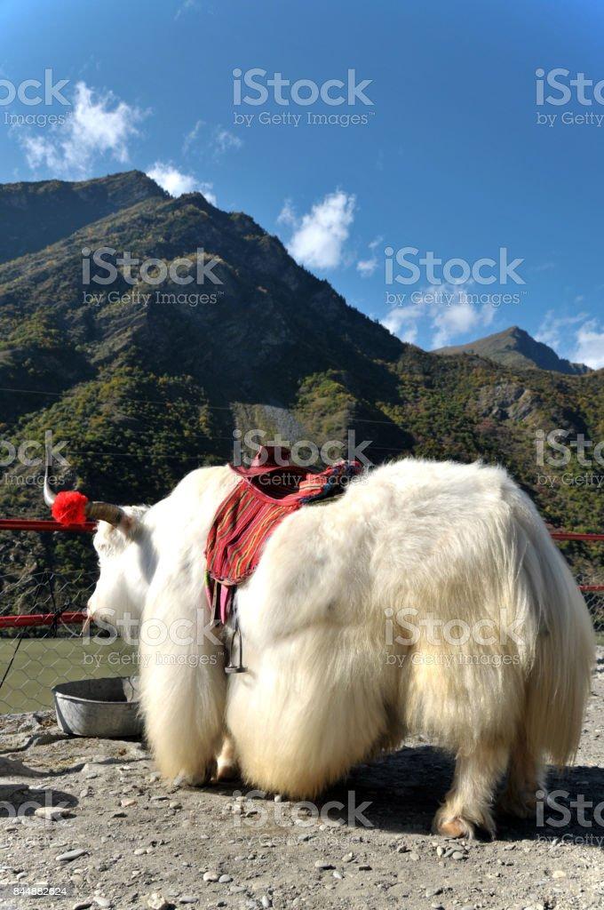 Decorated Yak in Jiuzhaigou National Park stock photo