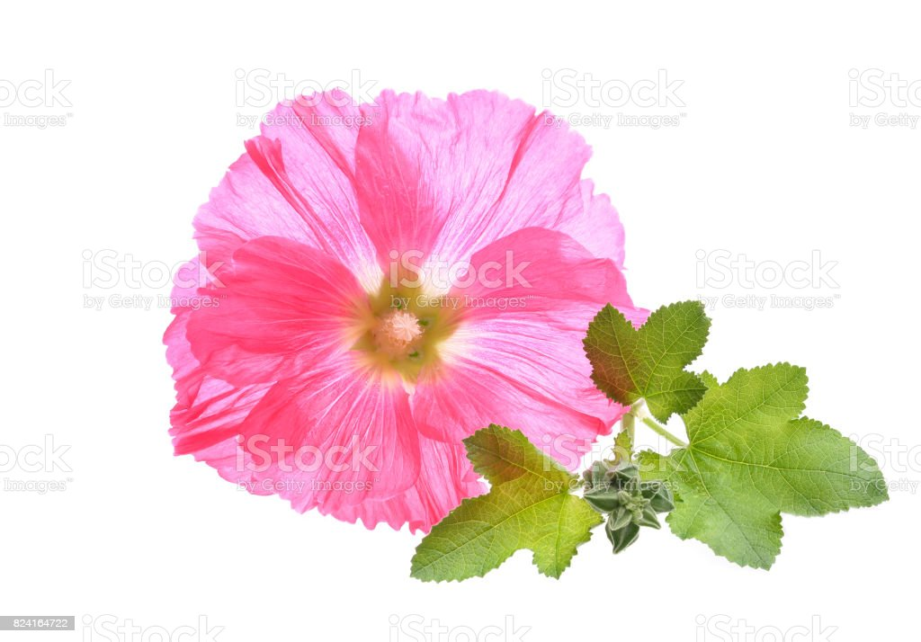 decorating hollyhock flowers /Althaea officinalis/ stock photo