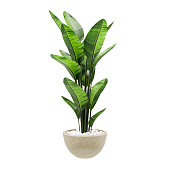 Decorative banana plant in stone marble vase isolated on white background. 3D Rendering, Illustration.
