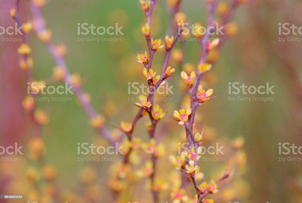 Decorative barberry bush branches in bloom. Shot on film royalty-free stock photo