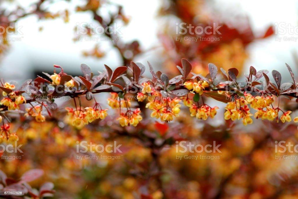 Decorative berberis thunbergii background stock photo