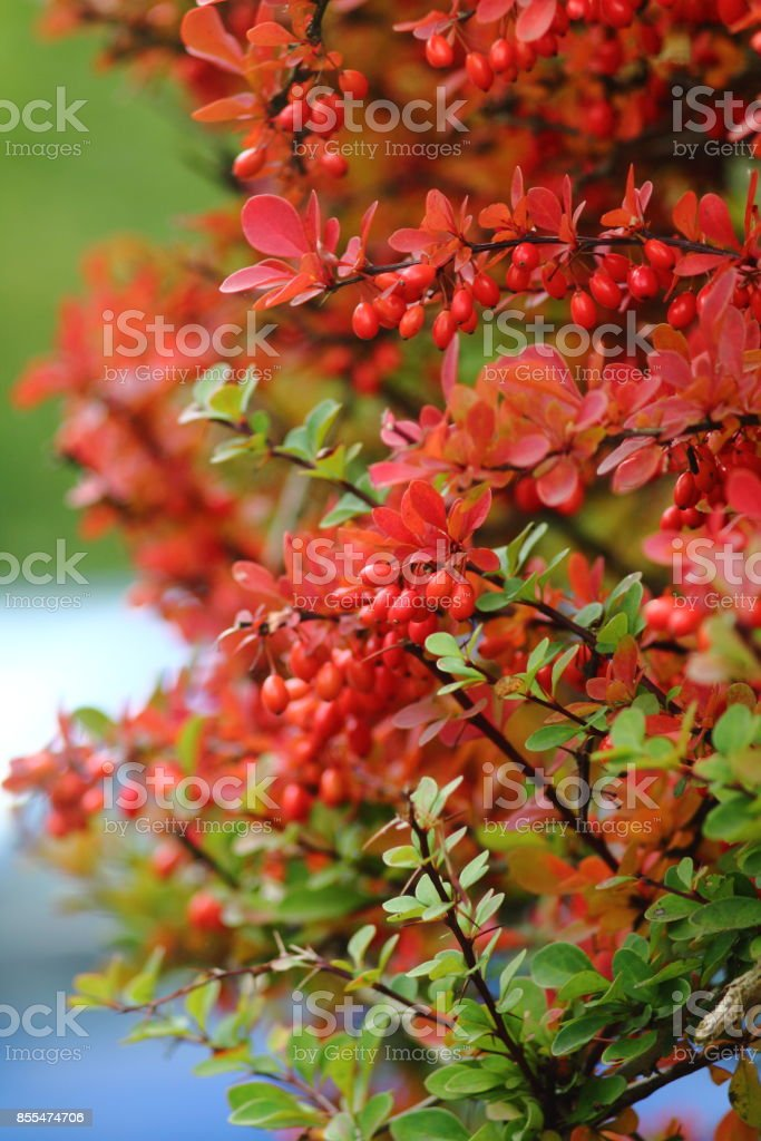 Decorative berberis thunbergii berries bush stock photo