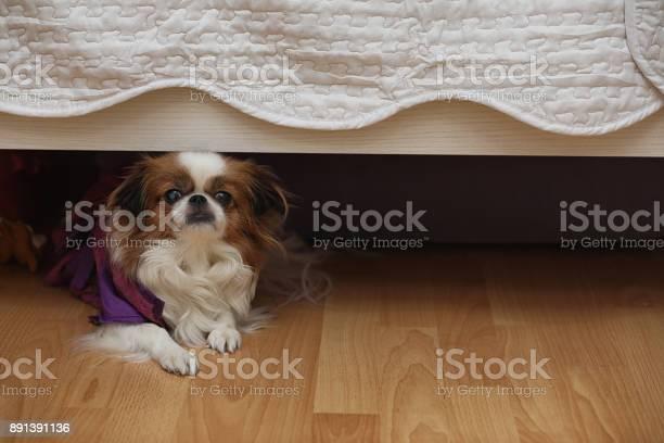 Decorative breed of dogs a small domestic dog the dog under th picture id891391136?b=1&k=6&m=891391136&s=612x612&h=i34q6ccfhby0ehayjvd wyxgovpdy0lbgqxz2nwcumw=