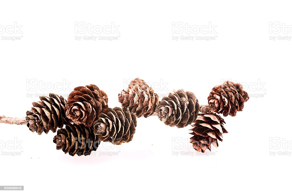 Decorative brown twig with cone isolated on a white background royalty-free stock photo