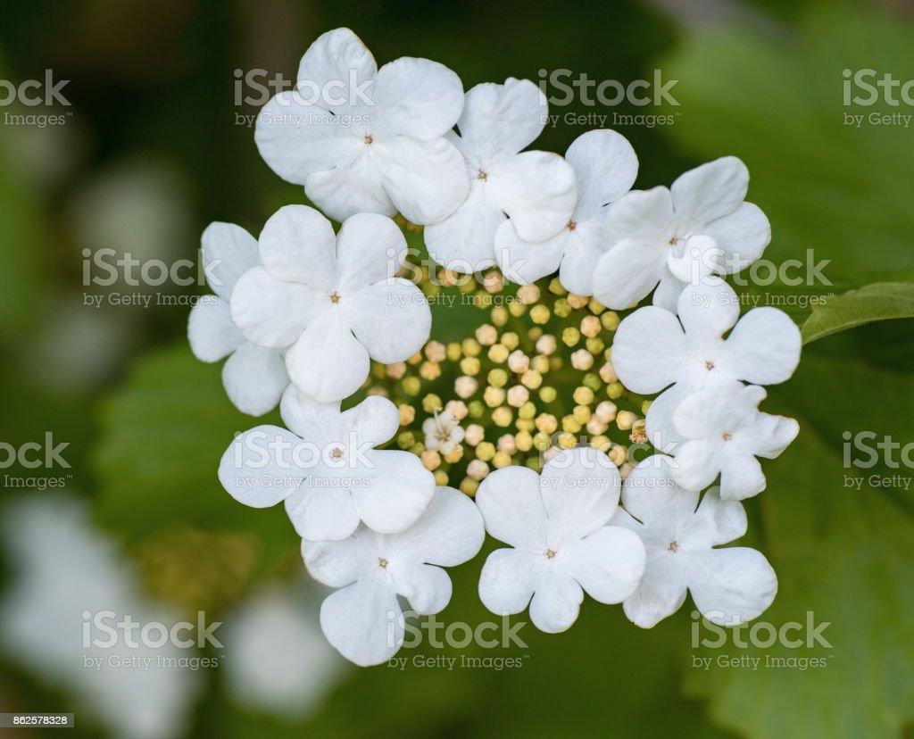 Decorative bush blooming beautiful white flowers with five petals in decorative bush blooming beautiful white flowers with five petals in the garden royalty free stock mightylinksfo