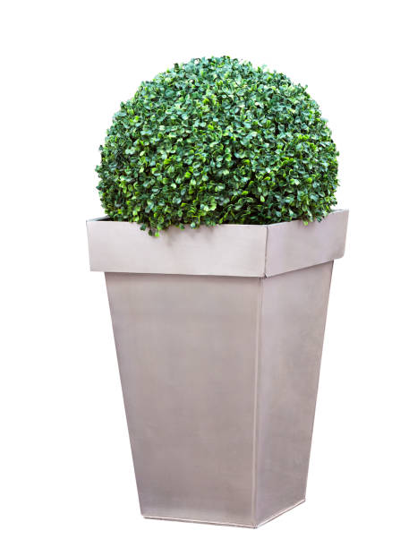 Decorative bush in a pot stock photo