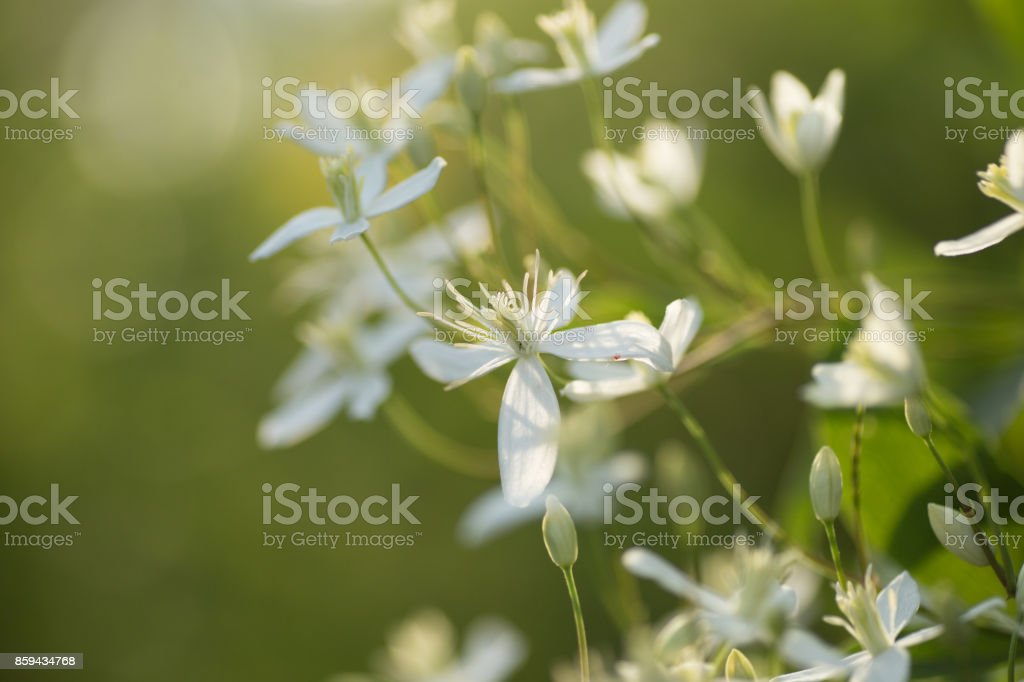 Decorative bush with white flowers on sunset. Clematis. stock photo