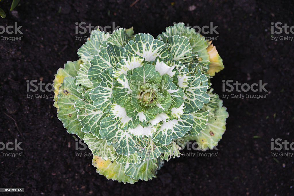 Decorative cabbage in garden royalty-free stock photo