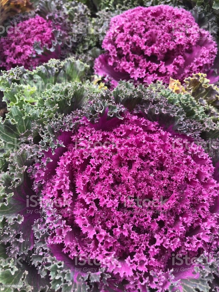 Decorative Cabbage Kale Stock Photo Download Image Now Istock