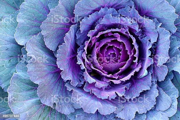 Decorative cabbage kale picture id495737444?b=1&k=6&m=495737444&s=612x612&h=tbrbfs3t0agzoarfvwasmav45efqshw7f1l40xic1ta=
