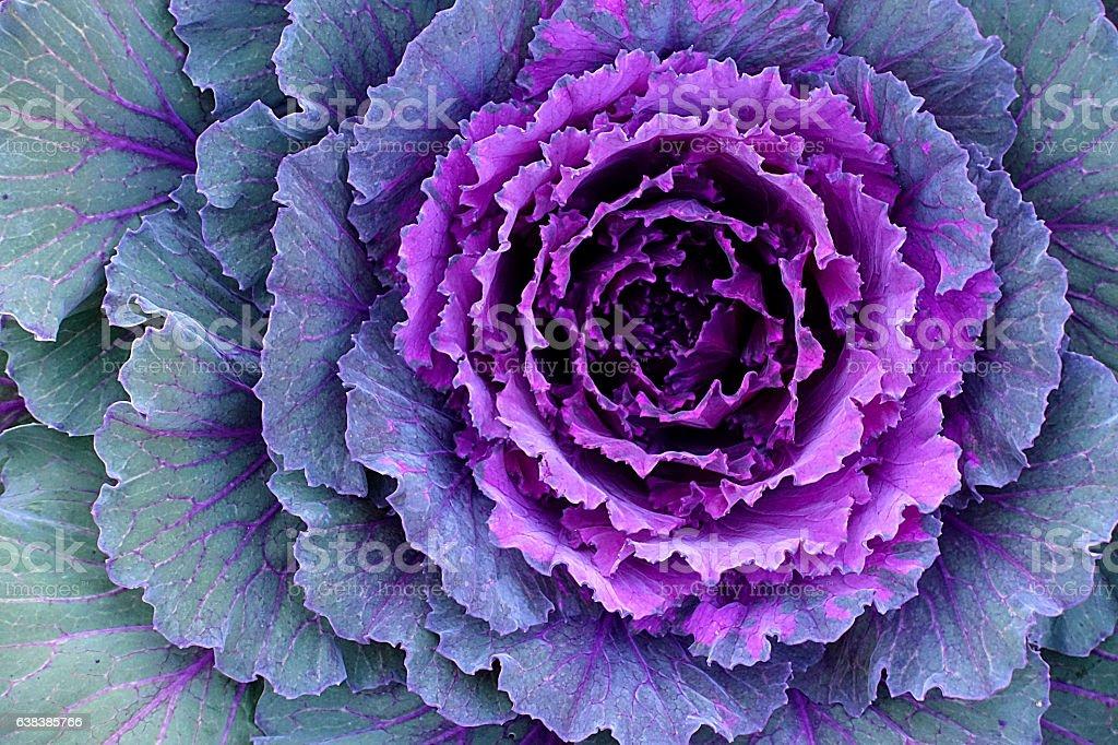 Decorative Cabbage - Kale stock photo