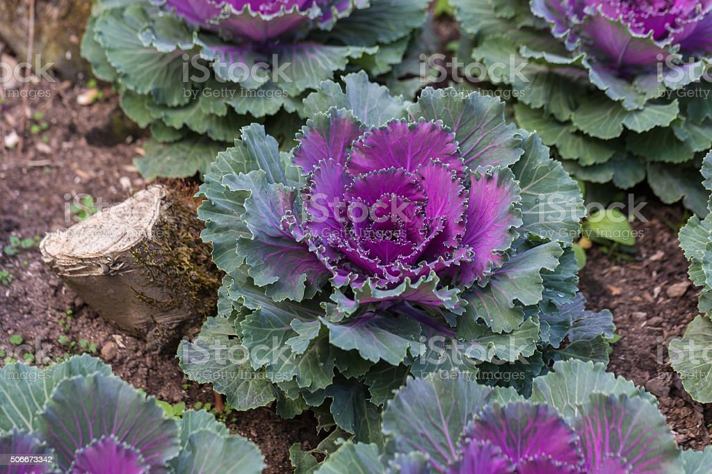 Decorative Cabbage Or Kale Decorative Cabbage Stock Photo
