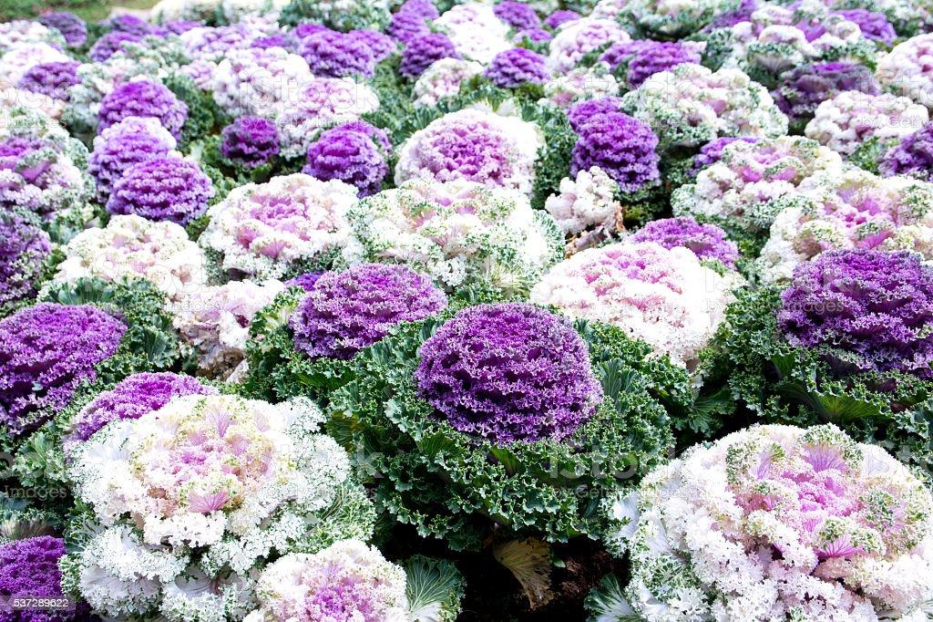 Decorative cabbage or kale, decorative cabbage stock photo