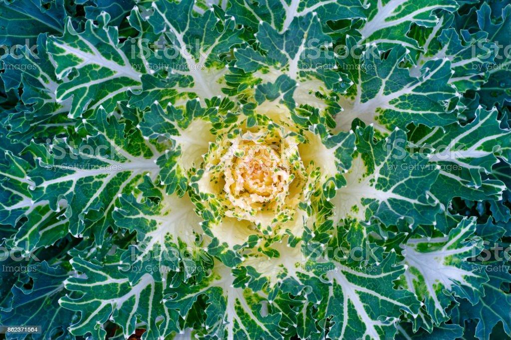 Decorative cabbage pattern stock photo