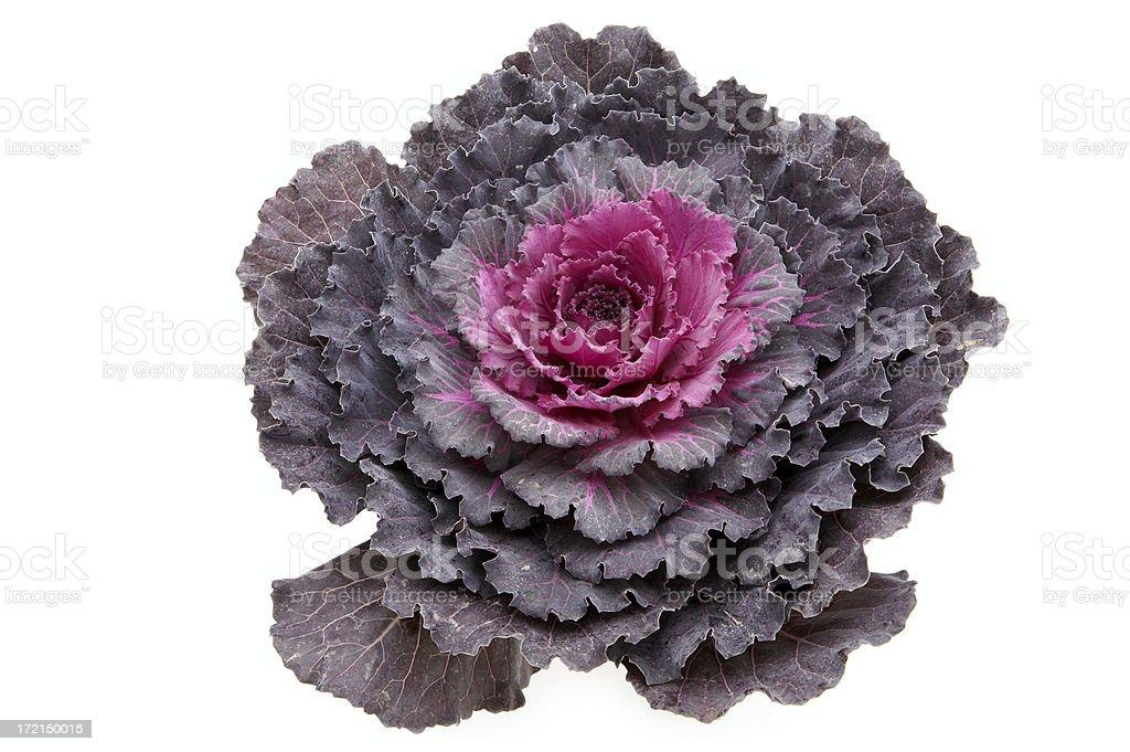 Decorative cabbage royalty-free stock photo