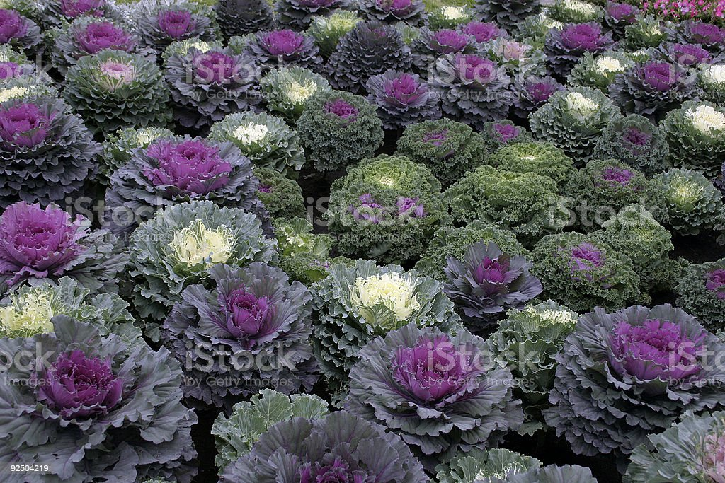 Decorative cabbage royalty-free stock photo