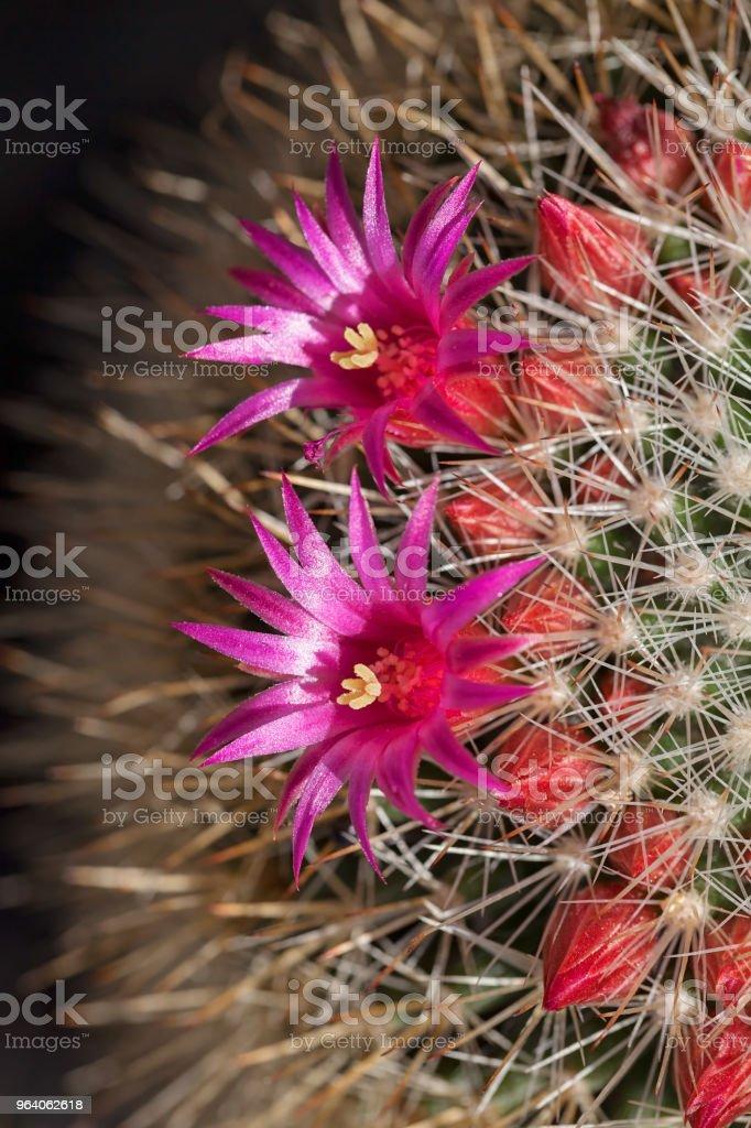 decorative cactus - Royalty-free Botany Stock Photo