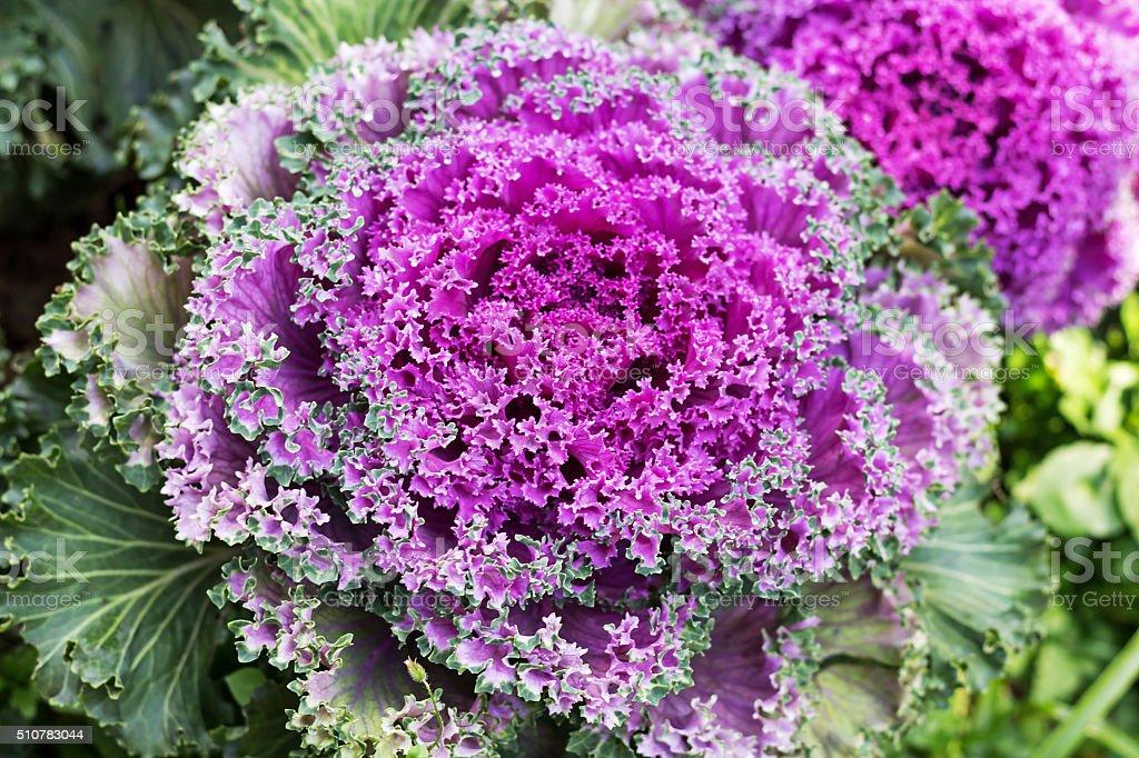 Decorative cauliflower stock photo