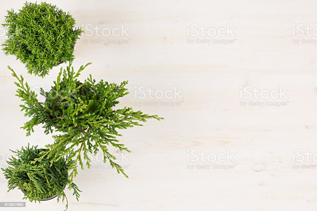 Composition décorative des plantes vert conifère frontière en vue de dessus de pots sur fond de planche de bois blanc. Espace copie vierge. photo libre de droits