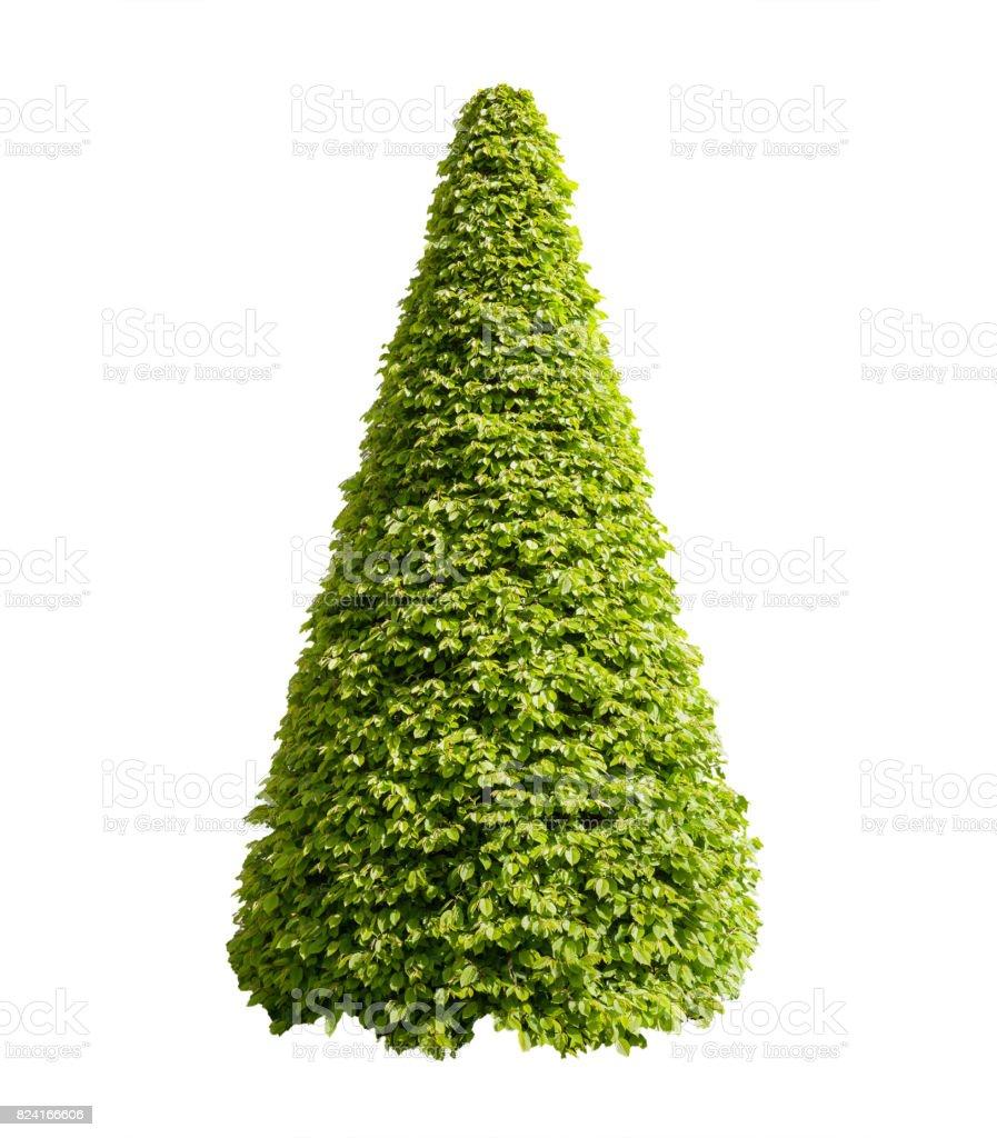 Buisson en forme de cône décoratif isolé sur blanc - Photo