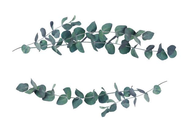 decorative eucalyptus leaves wave arrangements - eucalyptus tree stock photos and pictures
