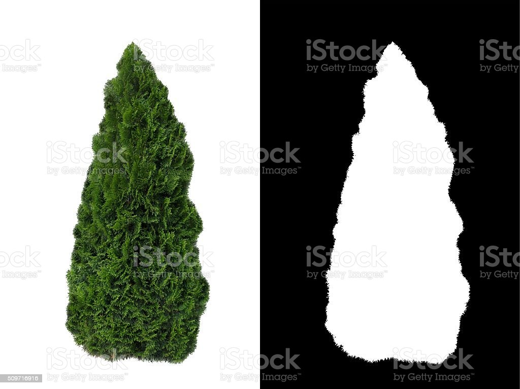 Decorative evergreen bush 2 stock photo