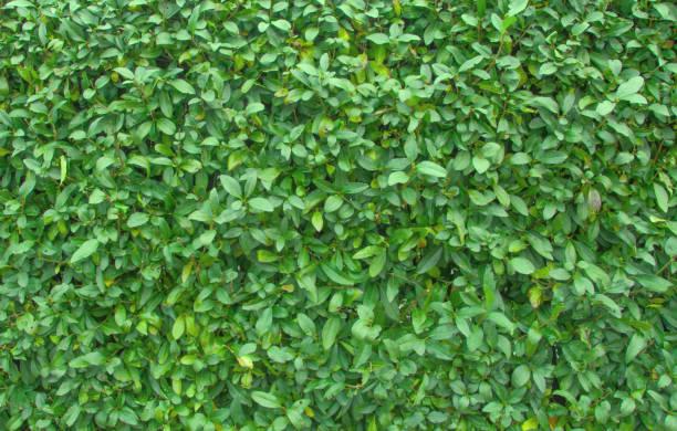 Decorative evergreen bush. stock photo