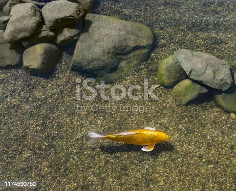 Decorative gold fish swim in pond. Stones covered with moss lie on bottom. Sunny day