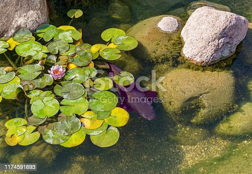 Decorative fish swim in pond. On water are leaves of nenuphars. Stones covered with moss lie on bottom. Sunny day