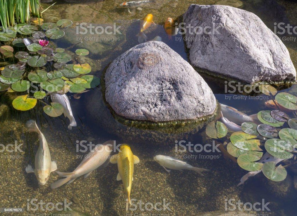 Decorative fish in pond stock photo