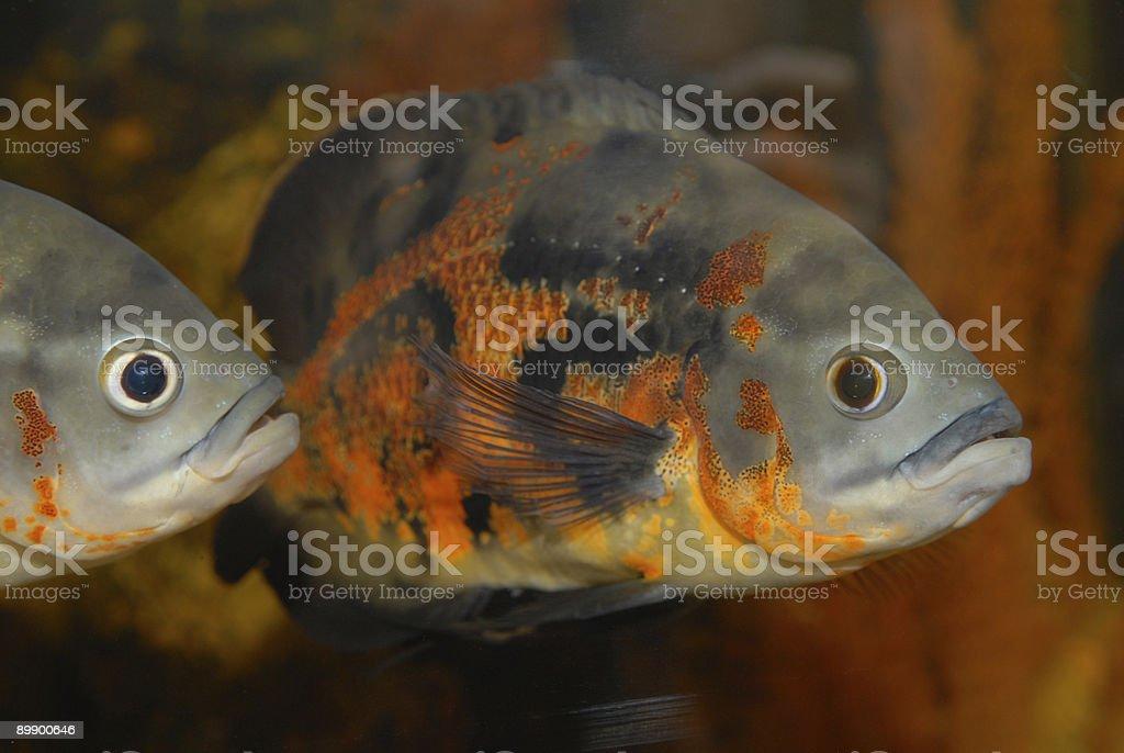 Dekorative Fische in einem inländischen aquarium Lizenzfreies stock-foto