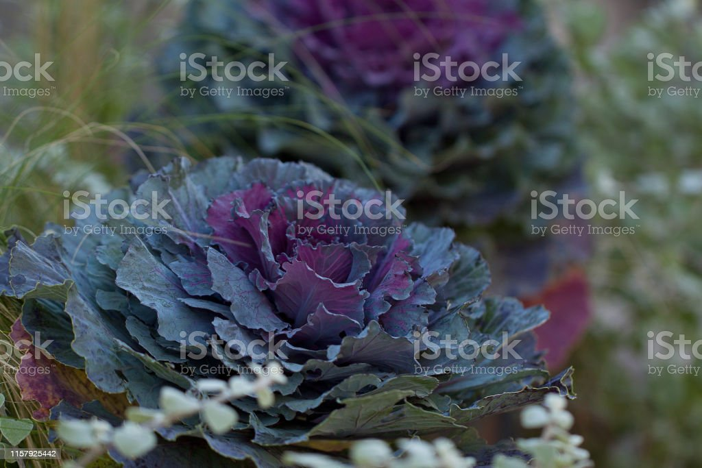 funny decorative ornamental cabbage flowers decorating a lawn in a...