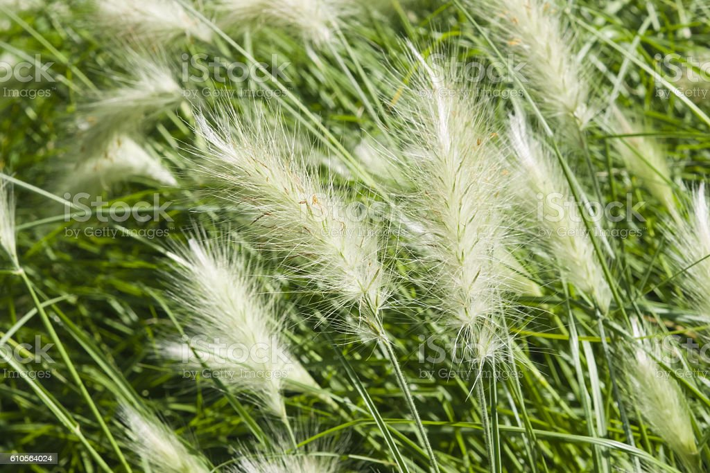 Decorative Grass Pennisetum setaceum at flowerbed, macro, selective focus stock photo