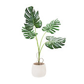 Decorative monstera tree planted white ceramic pot isolated on white background. 3D Rendering, Illustration.