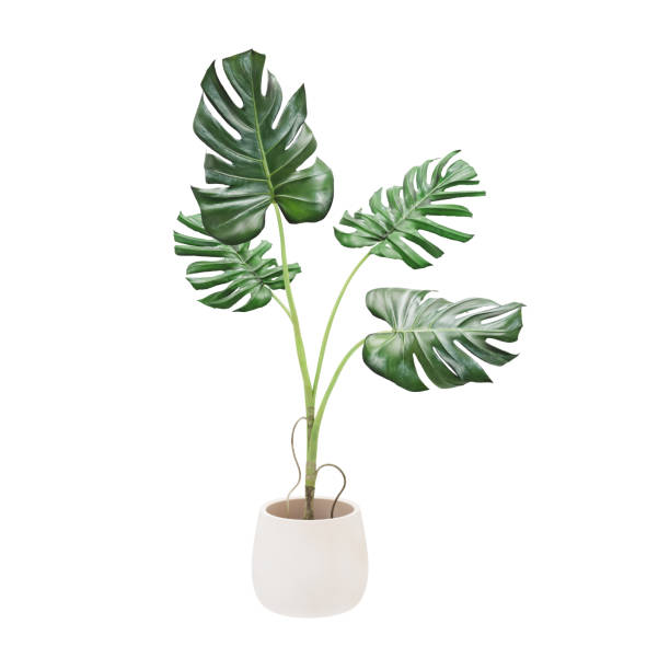 decorative monstera tree planted white ceramic pot isolated on white background. 3d rendering, illustration. - vase stock pictures, royalty-free photos & images
