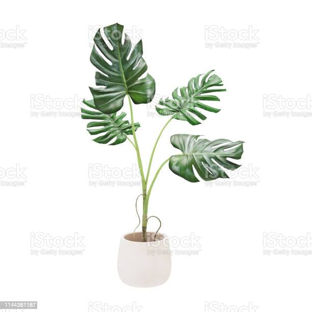 Photo of Decorative monstera tree planted white ceramic pot isolated on white background. 3D Rendering, Illustration.