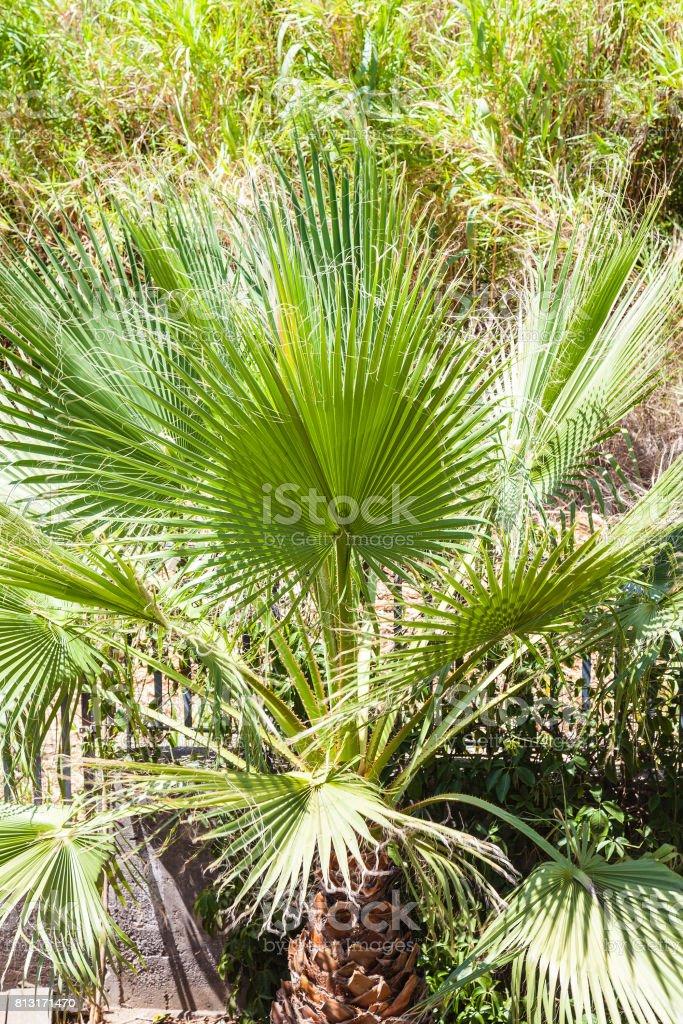 decorative palm tree in garden in Giardini Naxos stock photo