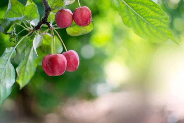 decoratieve paradijs apple boomtak met vruchten - fruitboom stockfoto's en -beelden