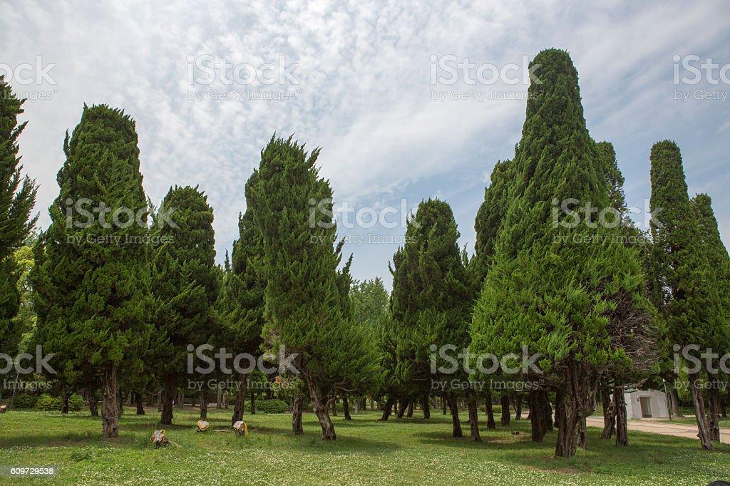 Decorative Pine Trees In Park At Osaka Japan Stock Photo