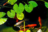 Koi fish. Golden carp. Decorative pond as a fragment of landscape design. Selective focus. Family vacation. Rest in nature.
