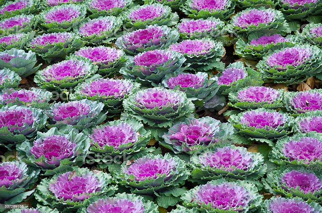 Decorative purple cabbage or kale stock photo