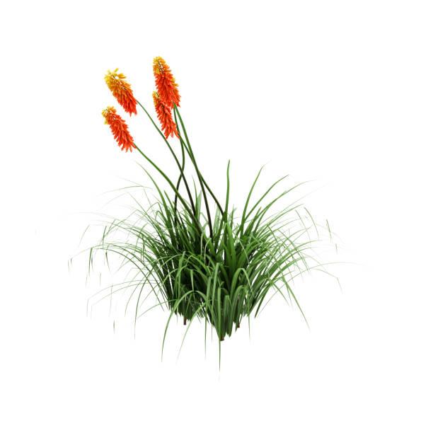 decoratieve red hot poker plant geïsoleerd op witte achtergrond. 3d-rendering, illustratie. - torch lily stockfoto's en -beelden