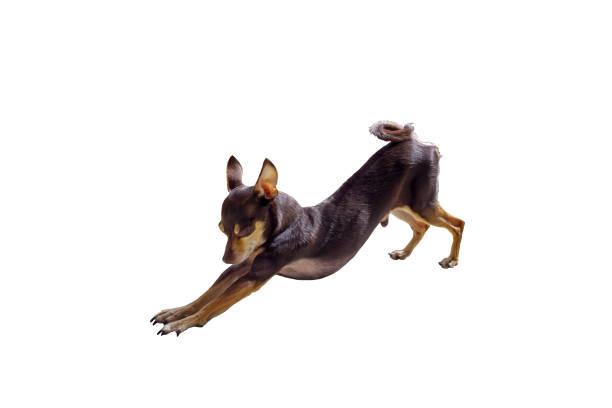 dekorative russkiy toy terrier - gedehnte ohren stock-fotos und bilder