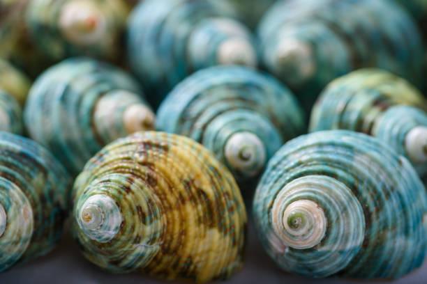coquillages décoratifs - coquillage photos et images de collection