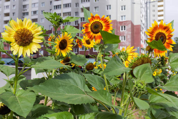 Decorative sunflowers on a blurred background of multistory building stock photo