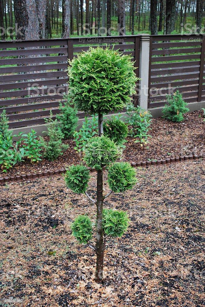Decorative Thuja in the garden. royalty-free stock photo