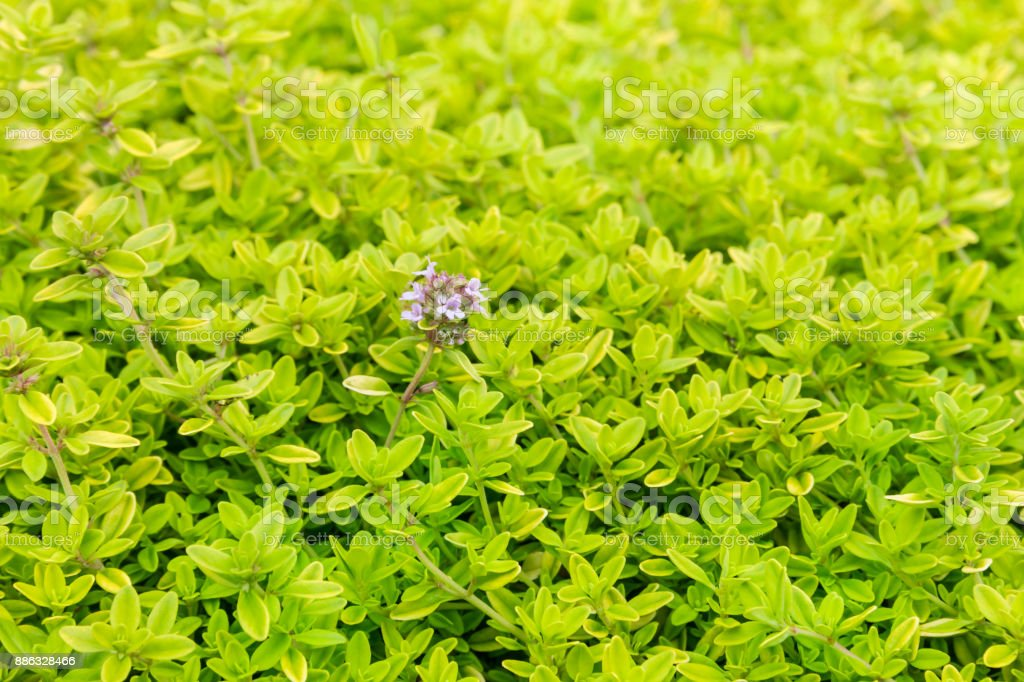 decorative thyme plant leaves and flowers stock photo