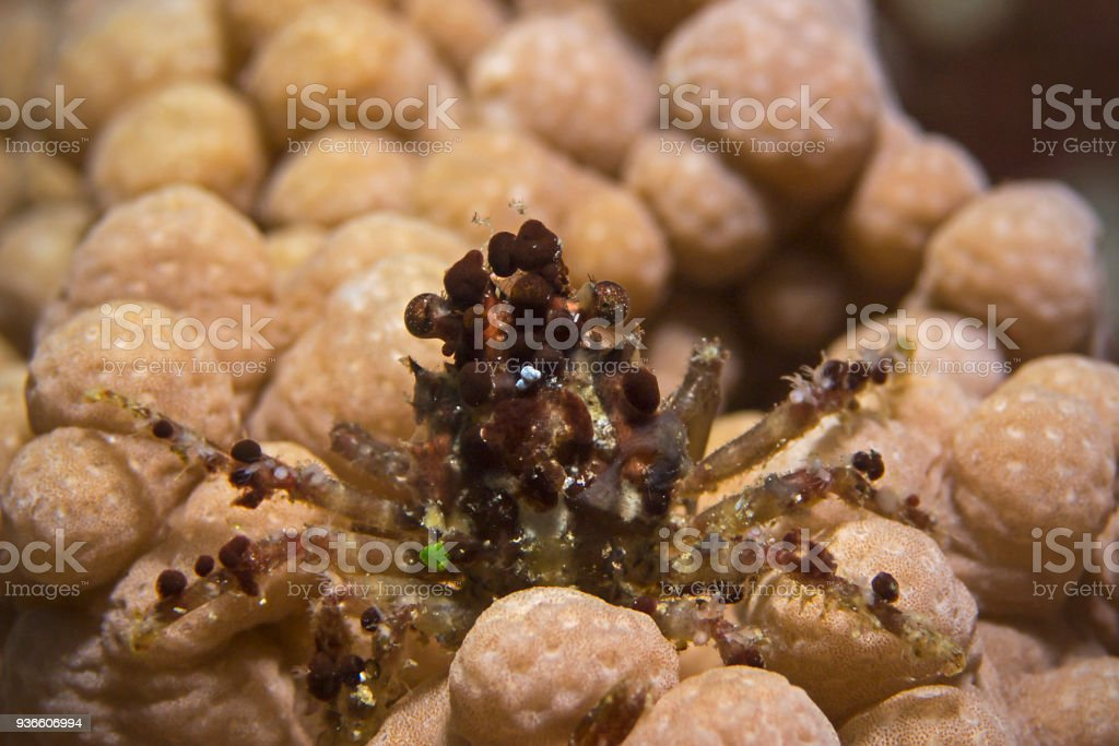 Decorator Crab, Dekorier-Krabbe stock photo